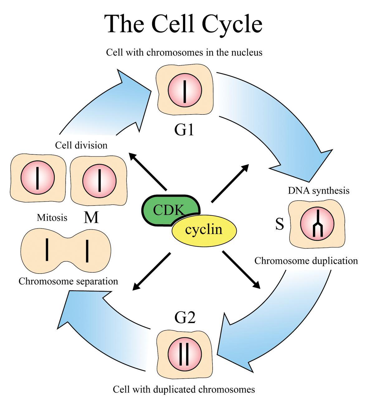 Cell Division Lesson 0426 Tqa Explorer