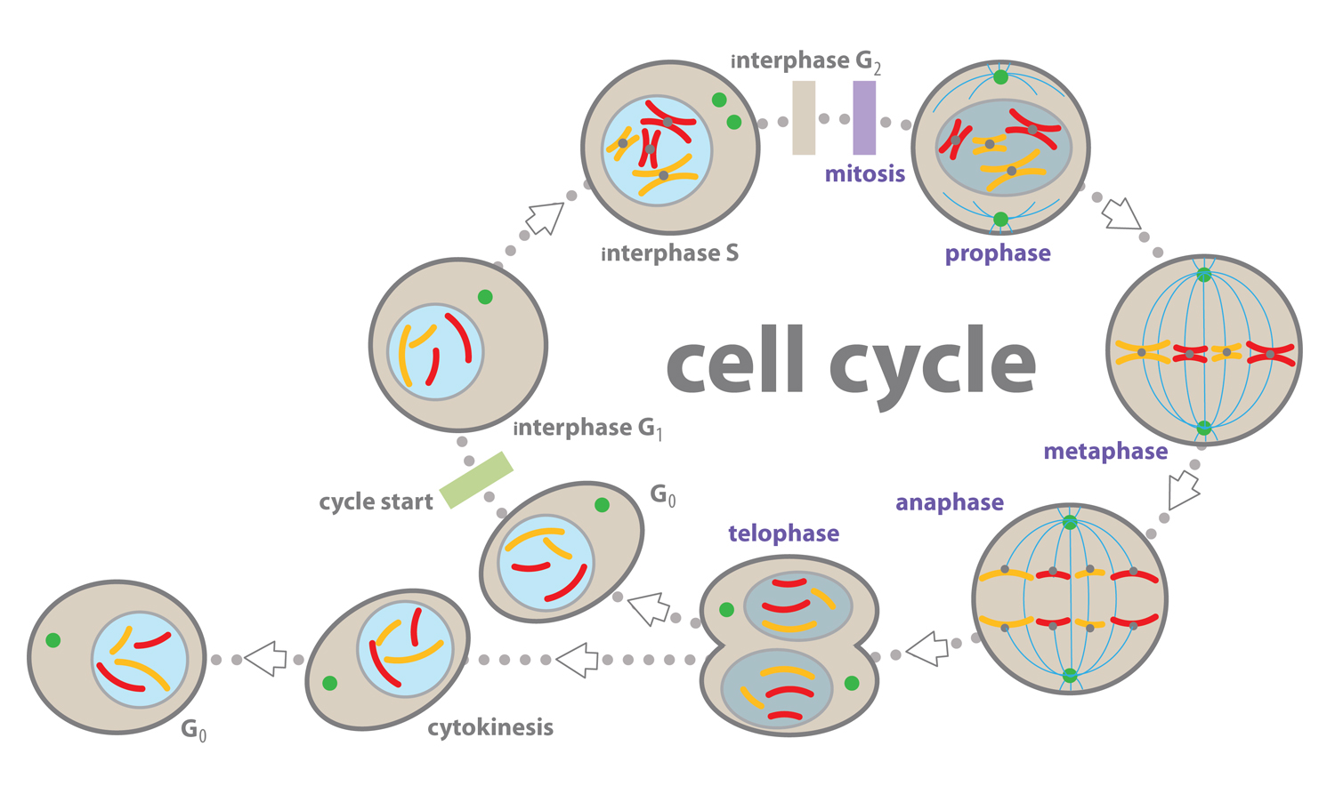 eukaryotic_cell_cycles_8070