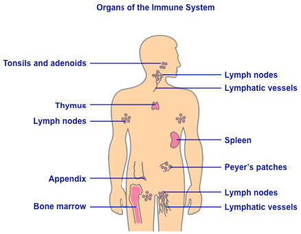 Immune System Defenses Lesson 0404 Tqa Explorer