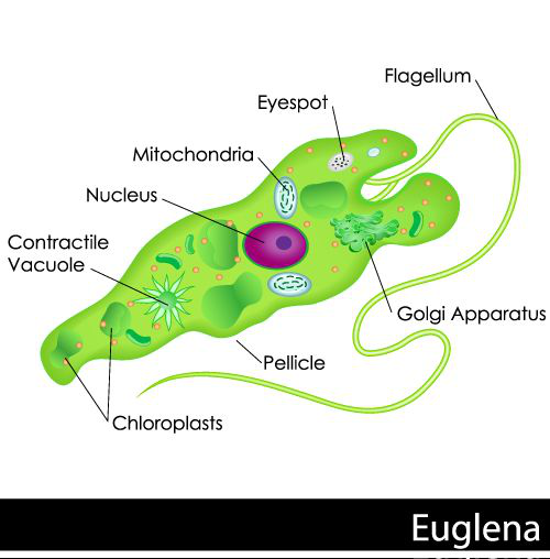 Phy Euglena Diagram Car Wiring Diagrams Explained