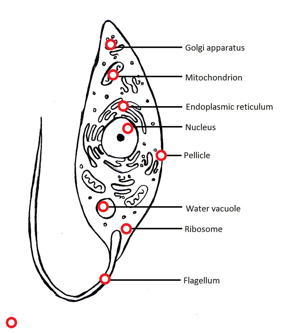 Euglena Cell Structure Diagram on electrical fuse box