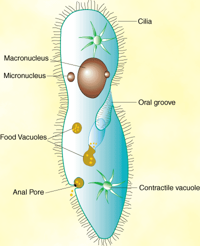 Protist Cell Structure protists (lesson 0439)...