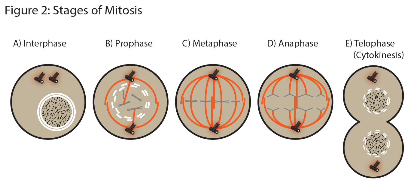 how are metaphase and anaphase different