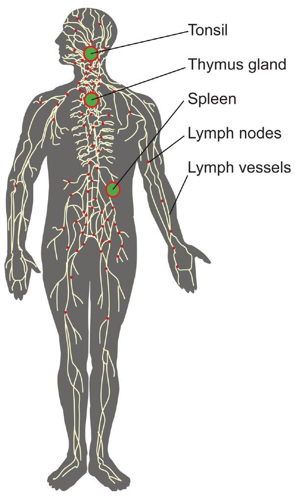 Immune System Defenses Lesson 0404 Tqa Explorer
