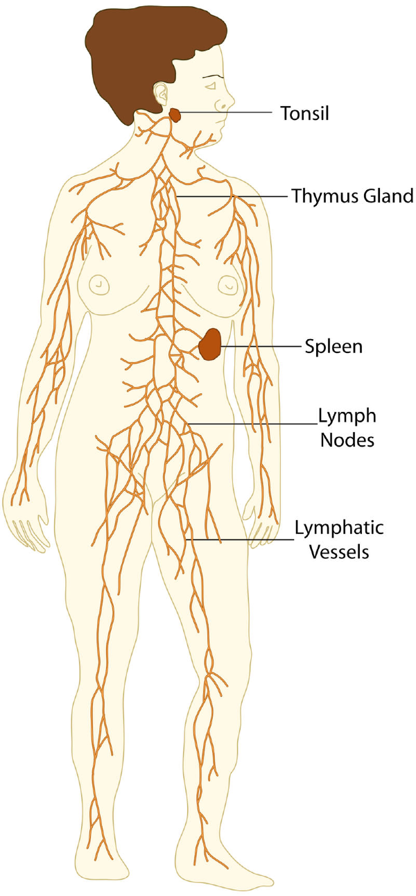 Lymphatic System Lesson 0589 Tqa Explorer