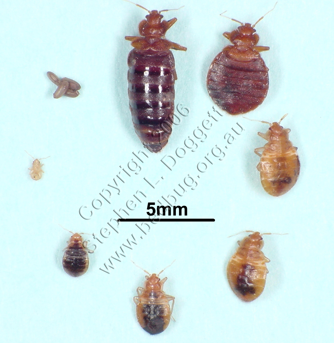 Getting Rid Of Bed Bugs Quickly Dead Bed Bug Blog