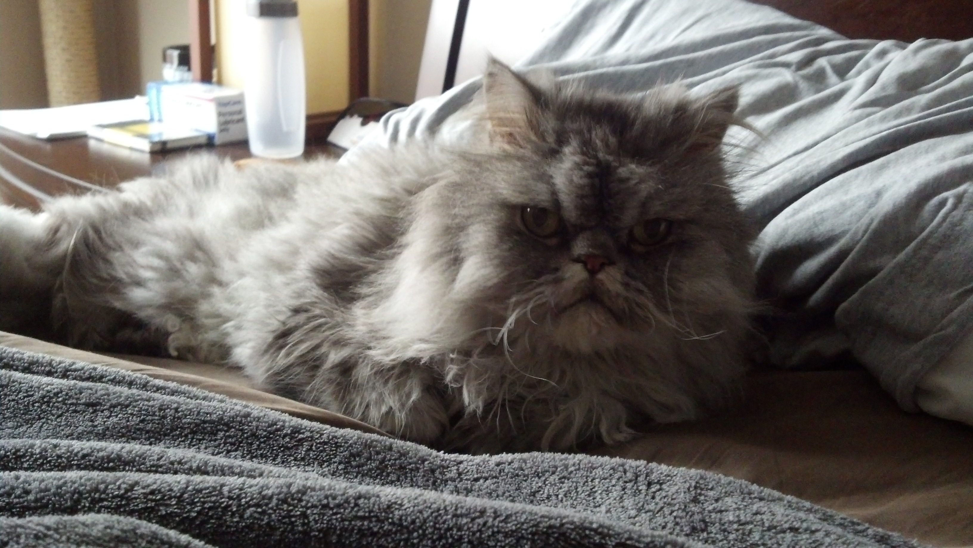 Picture of our Persian cat