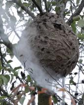 «HeatNest» en action sur un nid de frelons asiatiques