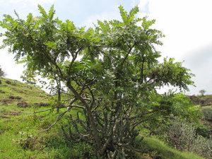 Alchemlife-Flexiqule-Boswellia tree for Joint Pain
