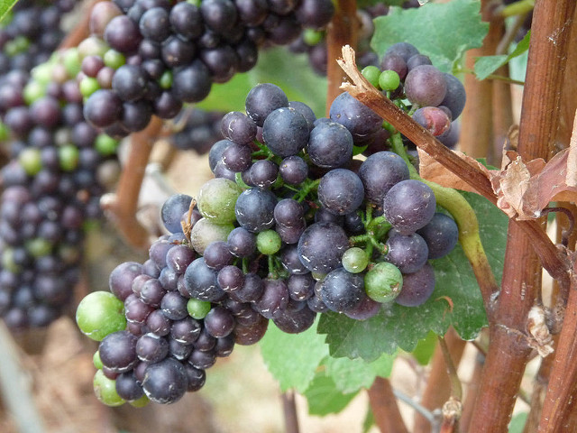 Grape Compound Can Protect Against Lung Cancer
