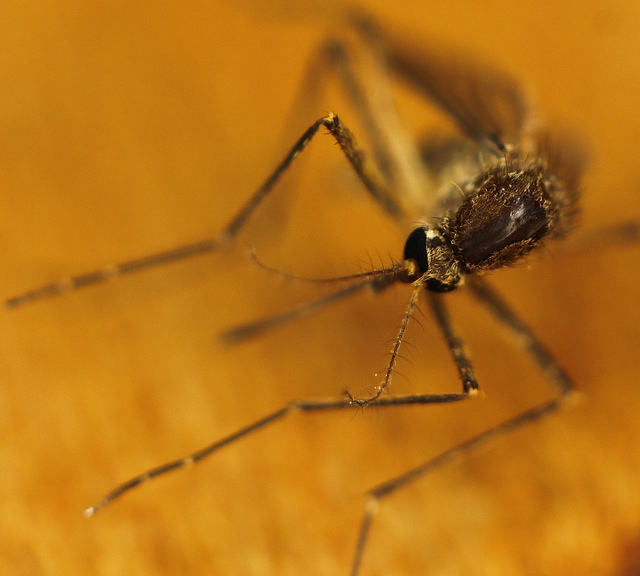 Google seeks to get rid of mosquitoes by releasing millions of infected males