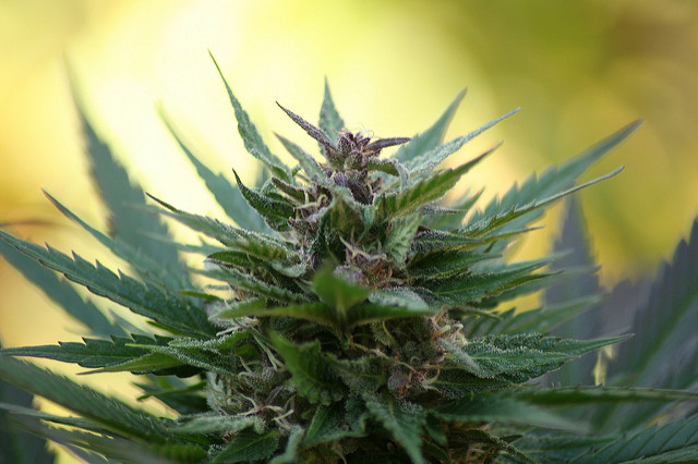 Study reveals increase in potency and price of cannabis across Europe