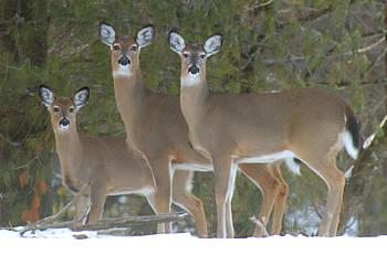 three deer in the snow