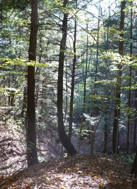 path among tall trees