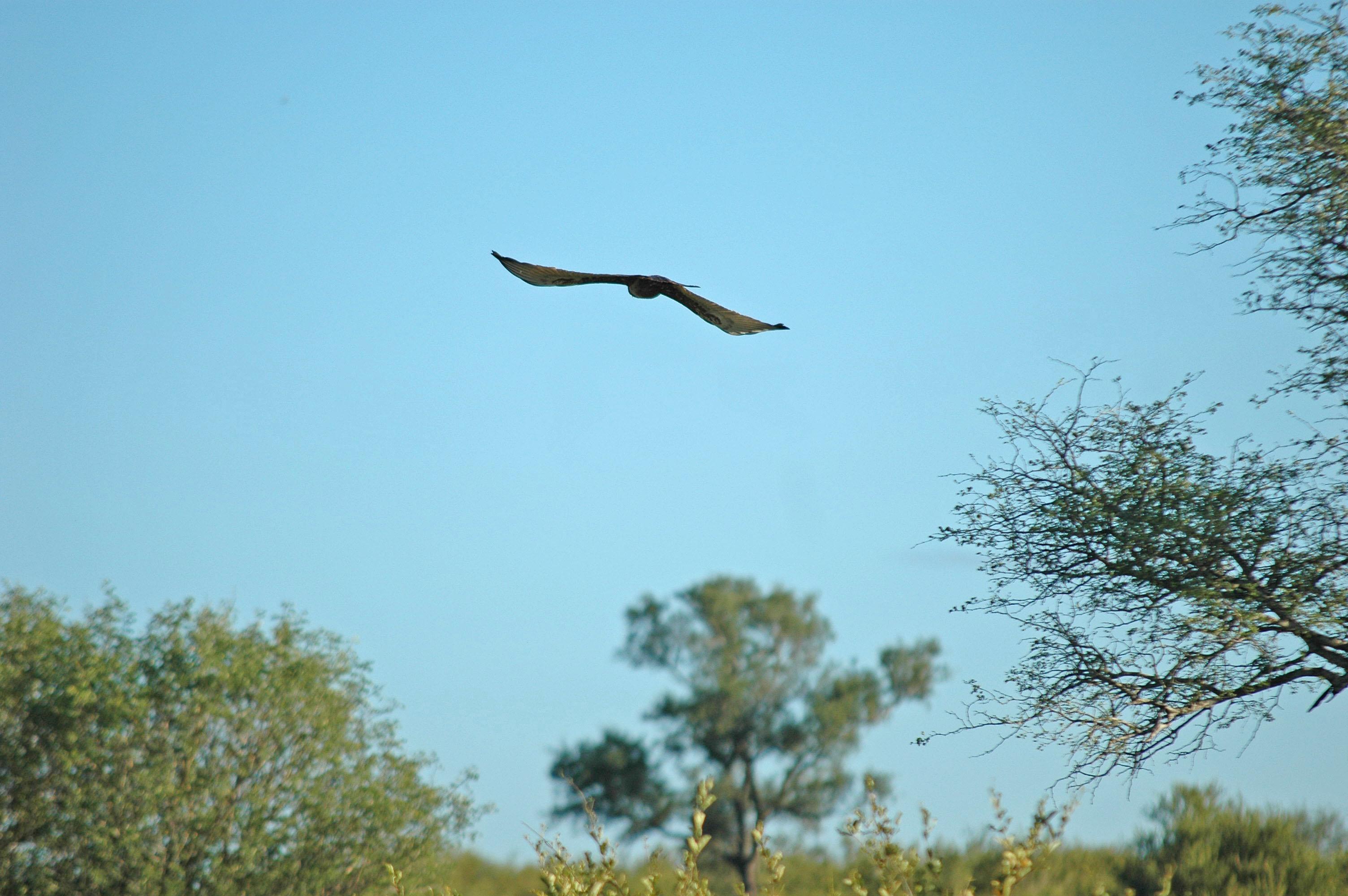 Vulture, Kruger National Park, South Africa
