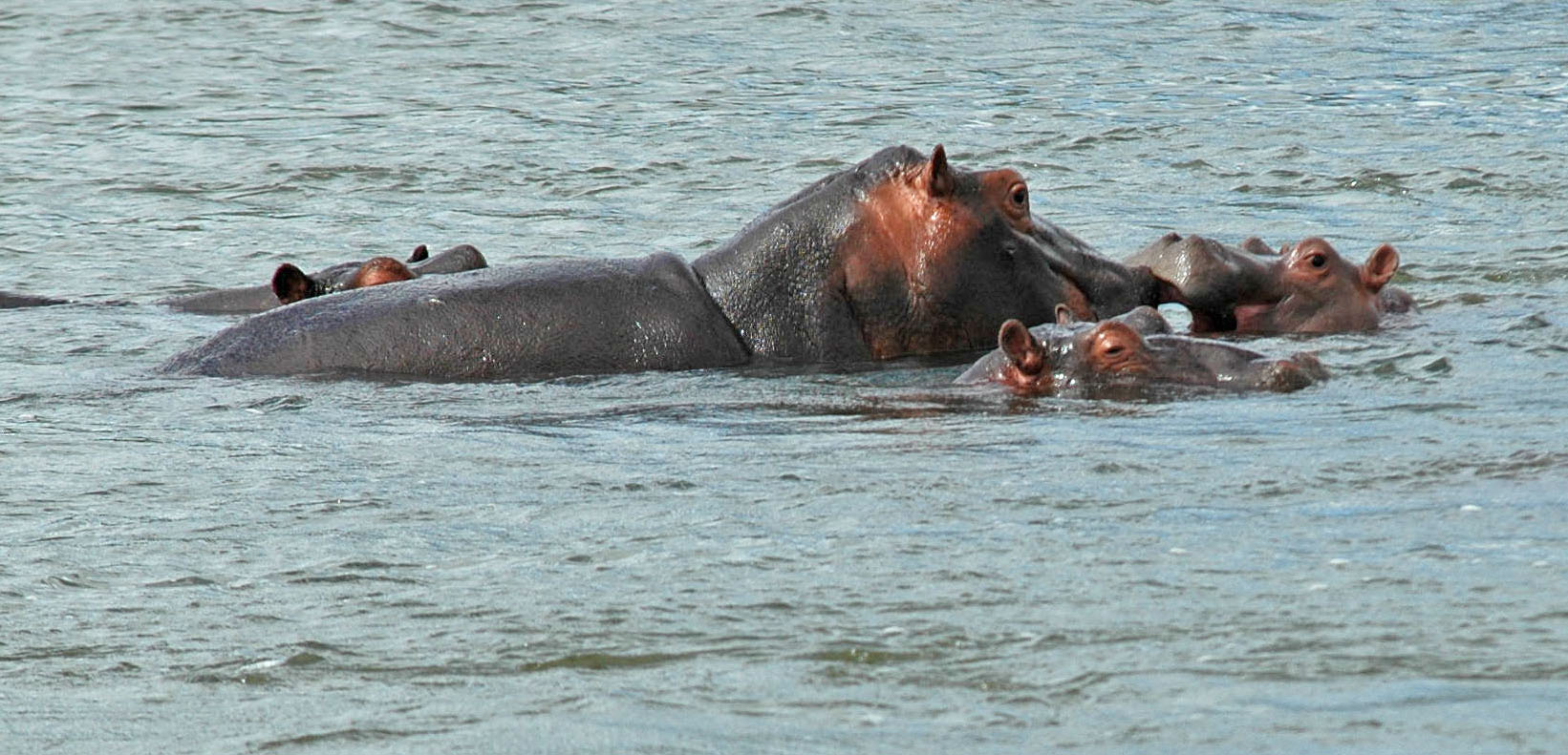 Hippopotamuses, on Game Safari in Kruger National Park