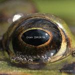 Evan Ziporyn: Frog's Eye