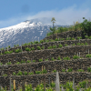 Red Wines From Etna