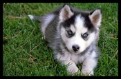Pomsky Puppies For Sale In Milwaukee Wi Poms Pups