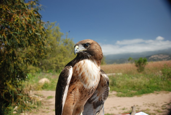 Ivan, Red-Tailed Hawk