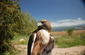 Ivan, Red-Tailed Hawk. Star of Earth day