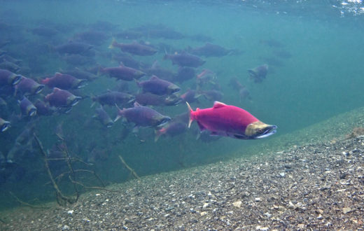 Sockeye Salmon in Lake Illiamna. | Pat Clayton