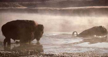Bison, Yellowstone River, MT | J Schmidt, National Park Service