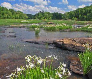 Flint River Shoals spider lillies | Alan Cressler