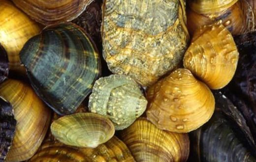 freshwater mussels | arkive.org
