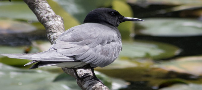 Black Tern| Ingrid Taylar