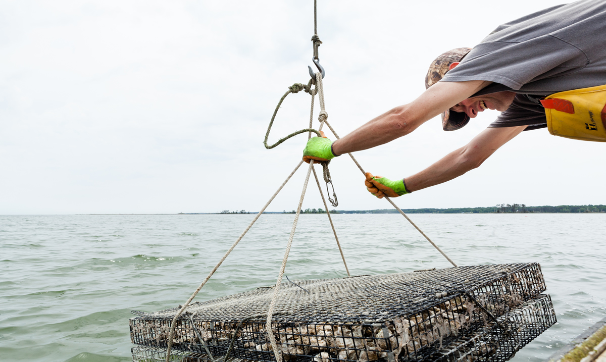 Rappahannock Oyster Company staff lowers an oyster cage into the Rappahannock | Will Parson/Chesapeake Bay Program