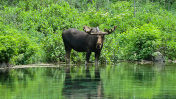 Moose in Maroon Bells Wilderness | Alex Buuterfield
