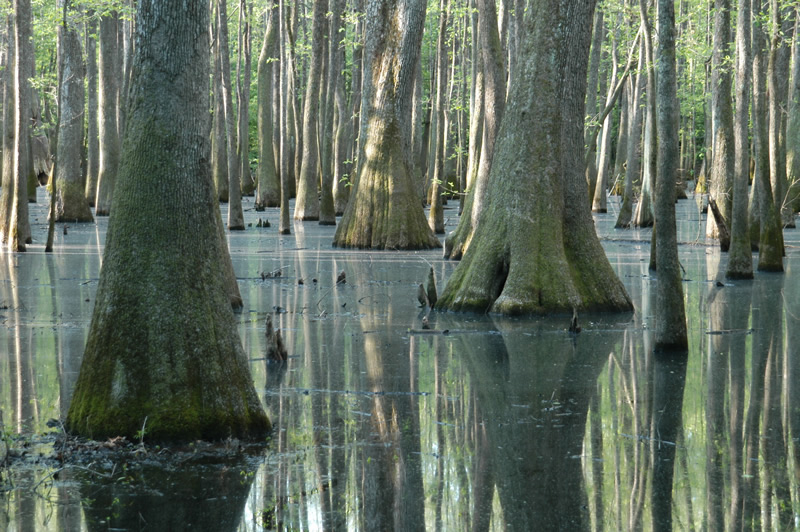 The water tupelo (Nyssa aquatica) often inhabits the same floodplain swamps as the bald cypress. | Photo by Nelson Brooke