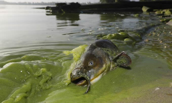 A catfish surrounded by algae in North Toledo, Ohio on September 20th, 2017. | Photo: Andy Morrison/The Blade via AP