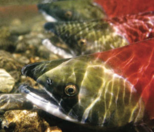 Sockeye Salmon | Photo: Save Our Salmon