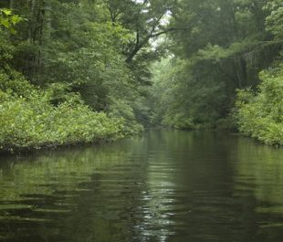 Cathedrals of Green, South Fork Edisto River.   Larry Price