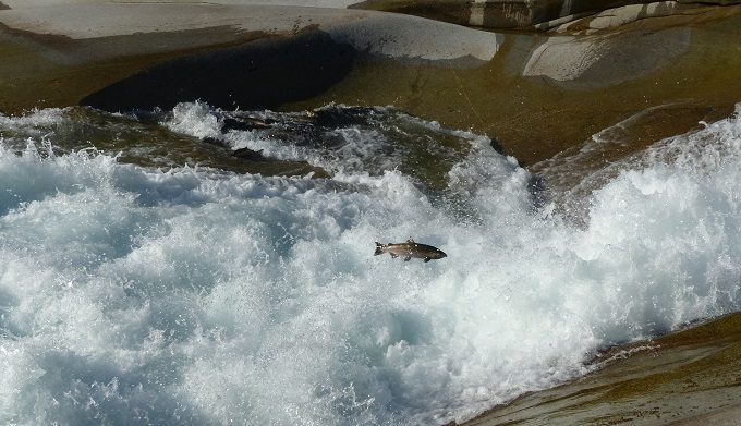 Coho salmon jumping at the base of Sunset Falls on the Skykomish River. | Photo: Lora Cox