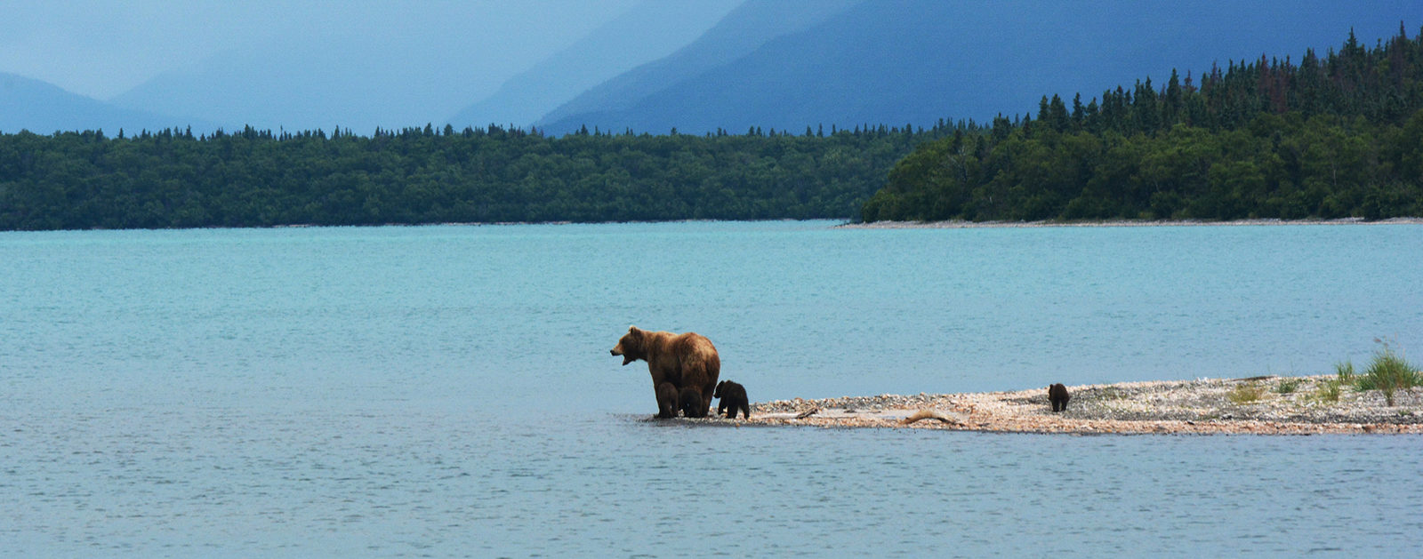 Grizzly bears on Naknek Lake in Katmai National Park.   Photo: Paxzon Woelber, Cinders to Sea Expedition