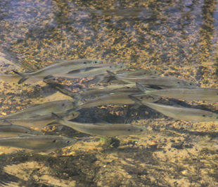 Blueback Herring swim in the Patapsco River, MD. | Smithsonian Environmental Research Center