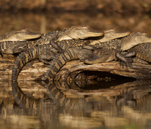 Alligator Stack | Stephen Kirkpatrick
