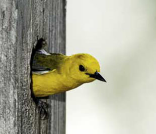 Prothonotary warbler in box. | Bill Stripling