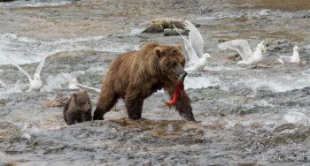Bears in Katmai National Park | Photo by Cheryl Strahl