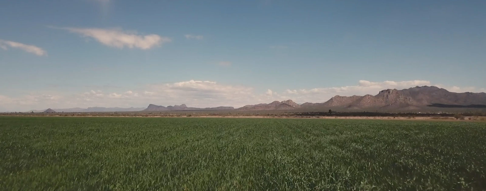 A wheat field in the Sonoran Desert