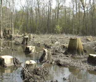 Clear cutting along the Big Edisto River, SC   Photo by Larry Price