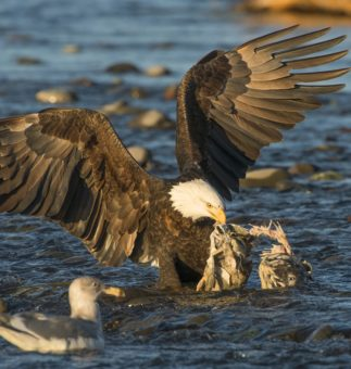 EAGLES, SALMON, AND A FREE-FLOWING RIVER Wild and Scenic Rivers