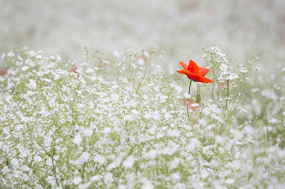 A poppy flower in a field of white flowers