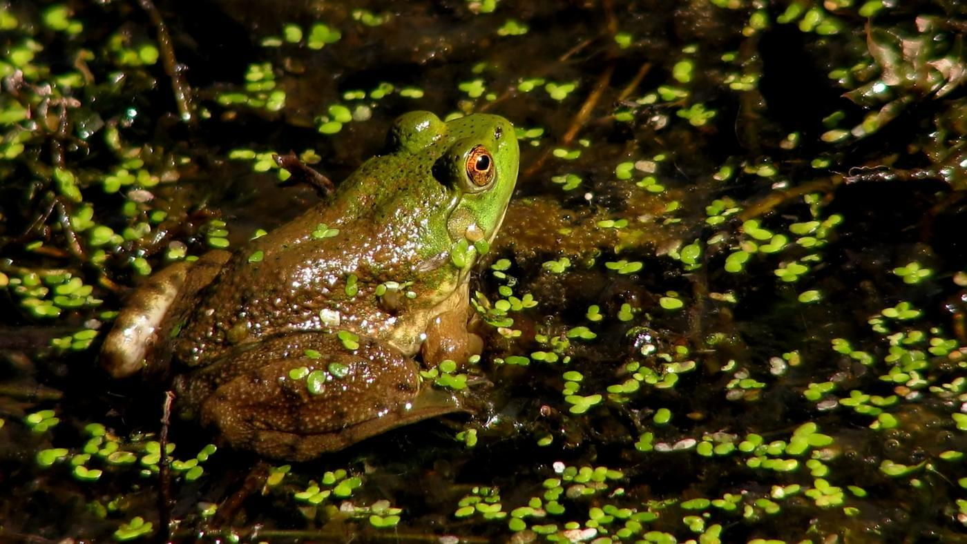 adaptations-frog