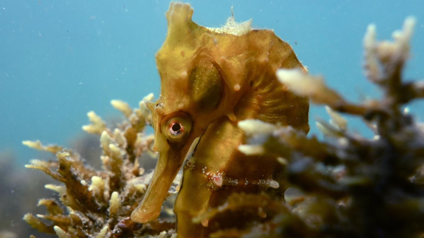 adaptations-seahorse