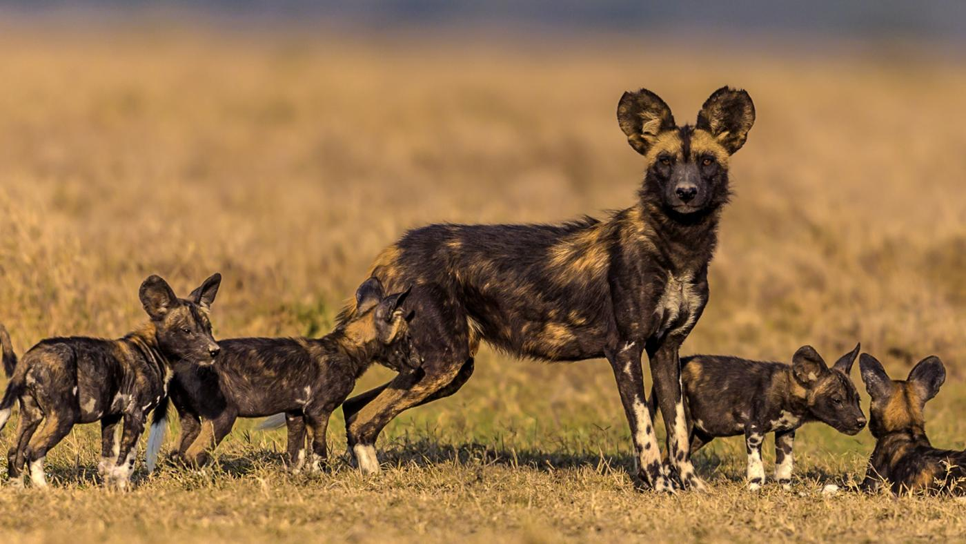 african-wild-dogs-eat