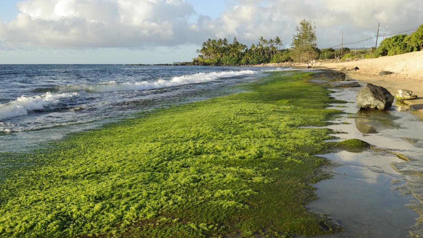 algae-form